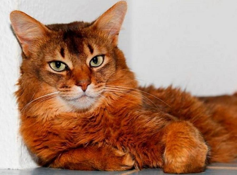 сомалийская кошка описание породы