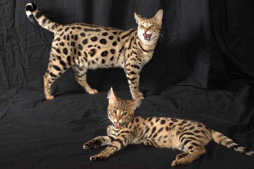 саванна кошка окрас