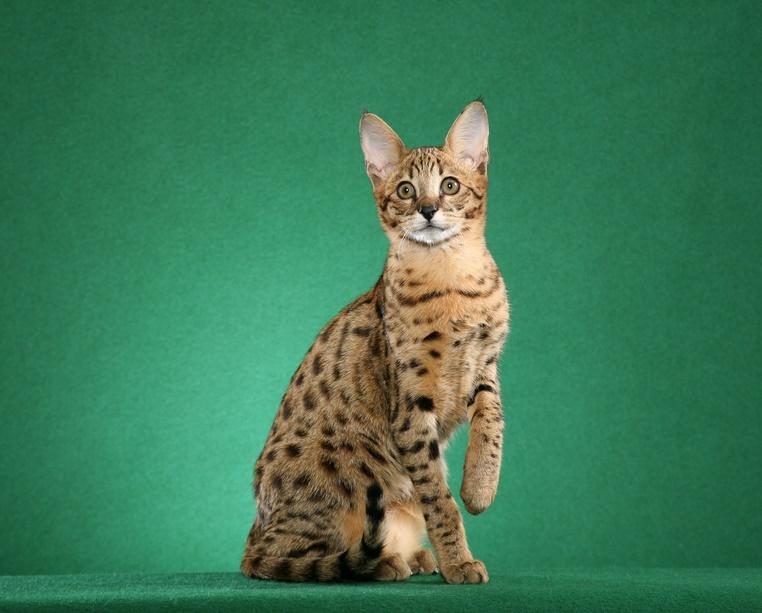 саванна котята порода москва