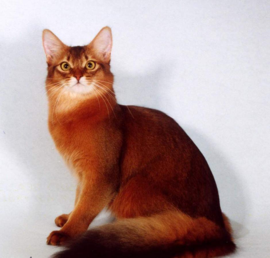 сомалийская кошка окрас