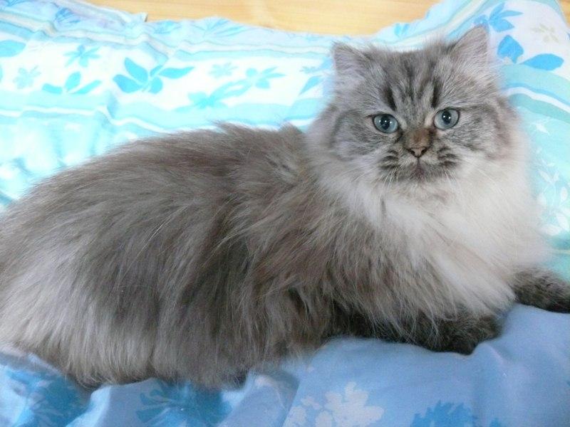 британская длинношерстная кошка где купить