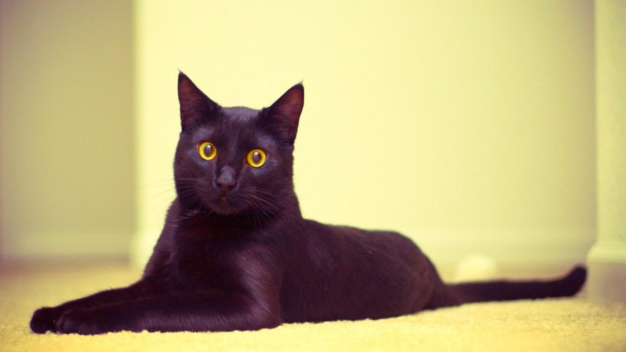 бомбейская кошка отзывы