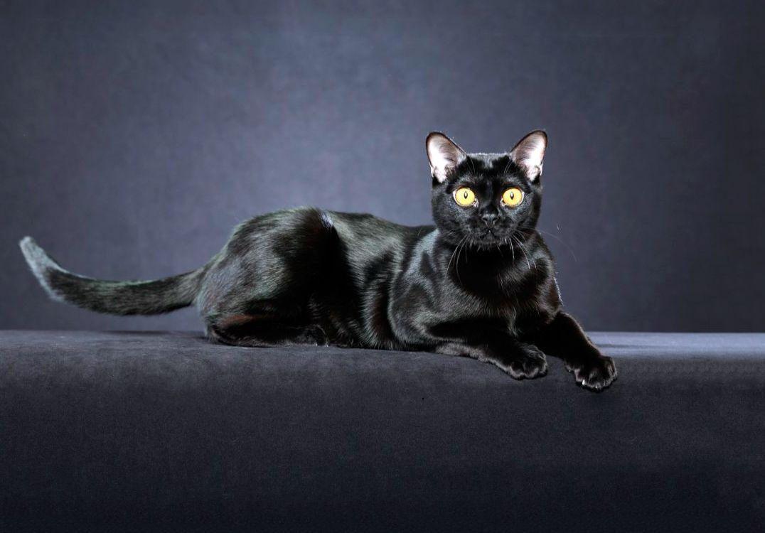 бомбей кот купить