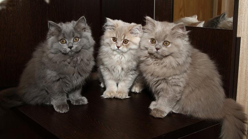 котята британской длинношерстной