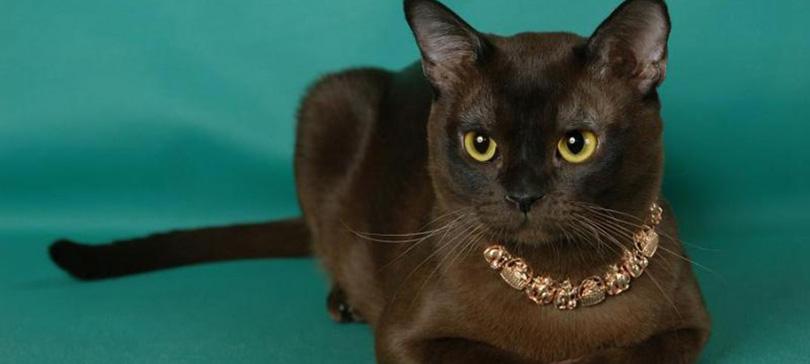 бирманская кошка видео