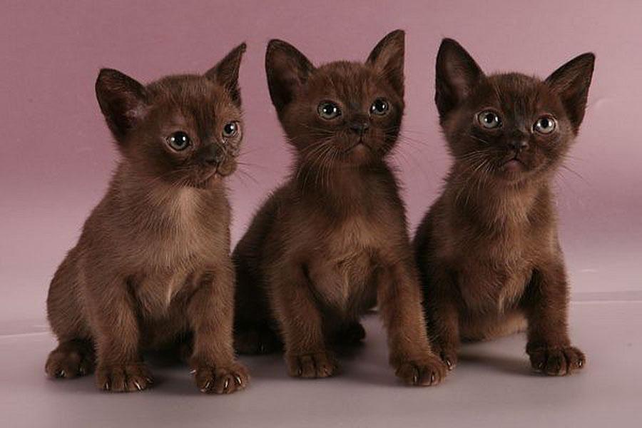 порода бурманская кошка котята