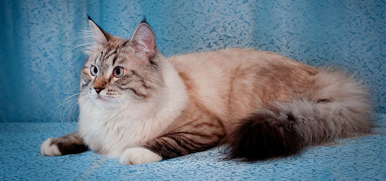 невская маскарадная кошка купить