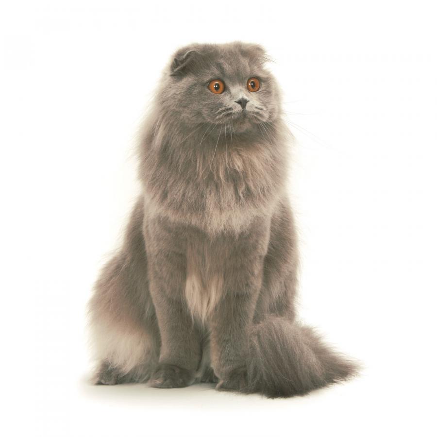 персидская кошка купить