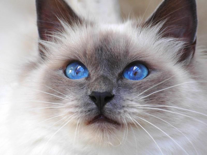 кошка бирма описание