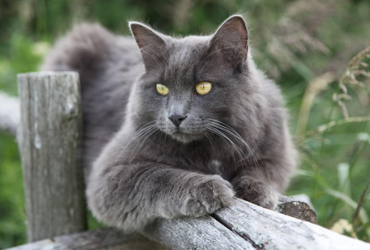 кошки нибелунги окрас