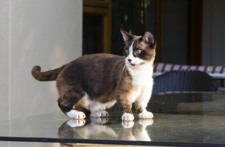 манчкин кошка фото