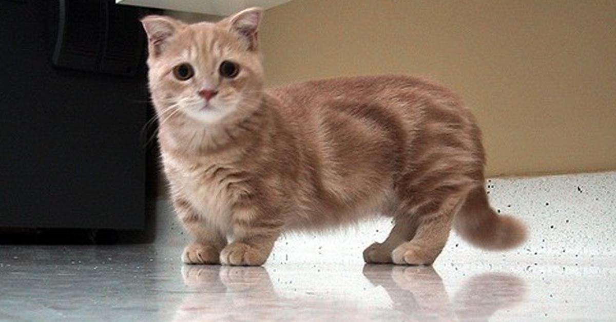 манчкин порода кот