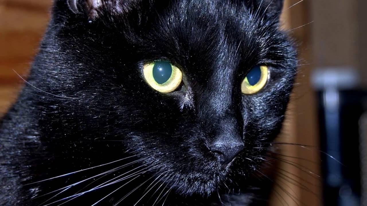 бомбейская кошка купить
