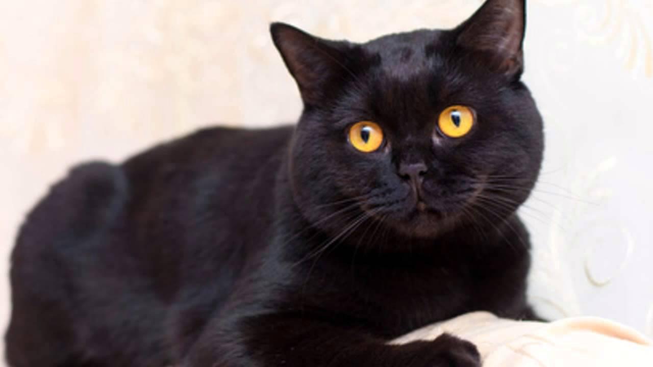 британский короткошерстный кот фото