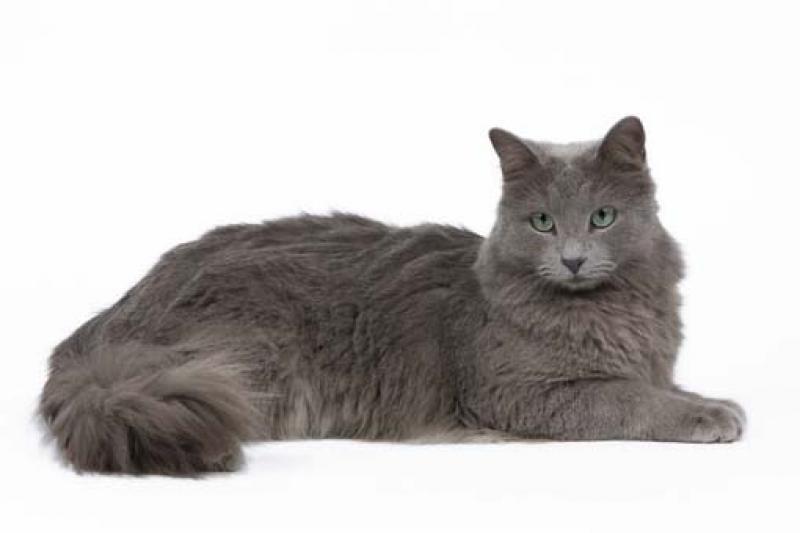 котята нибелунги