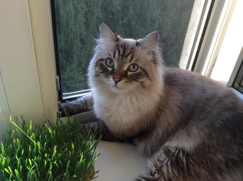 невская маскарадная кошка сколько стоит