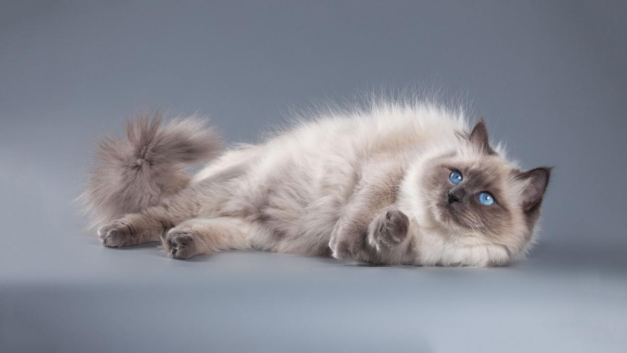 невская маскарадная кошка коты