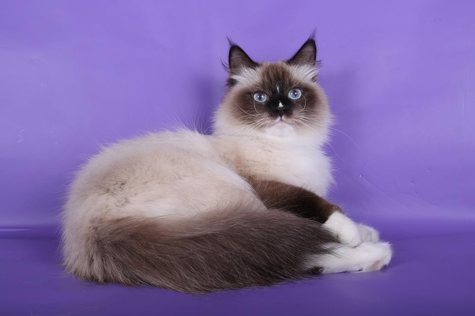 невская маскарадная кошка какая цена