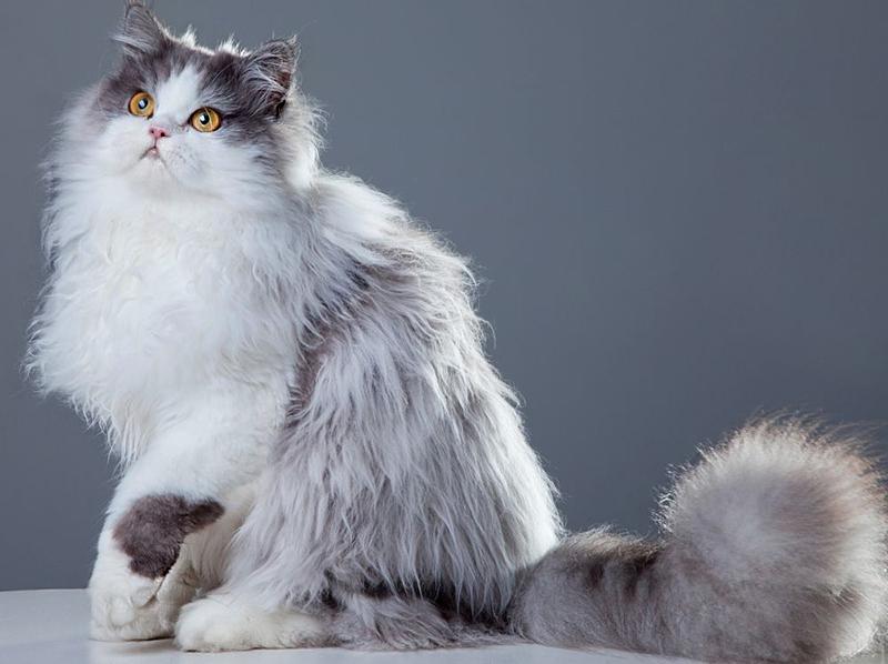 персидская кошка питомник