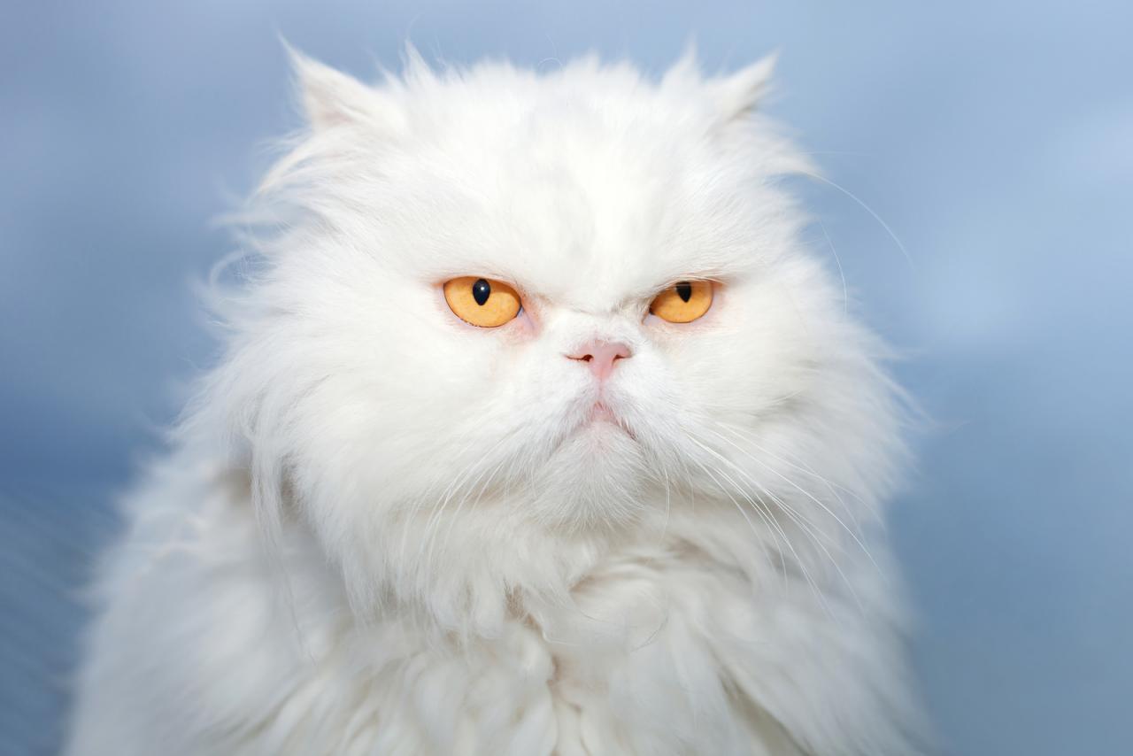 персидская кошка порода
