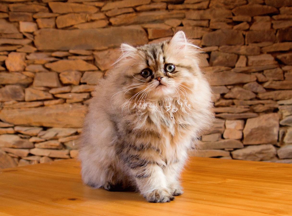 персидская кошка девочка