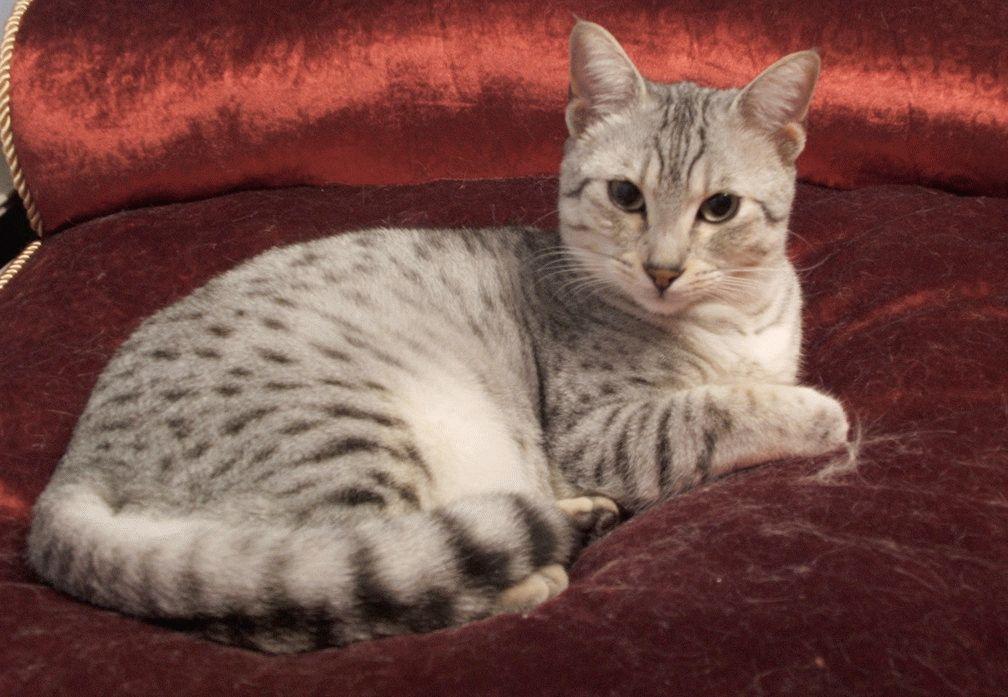 порожа котят египетский мау