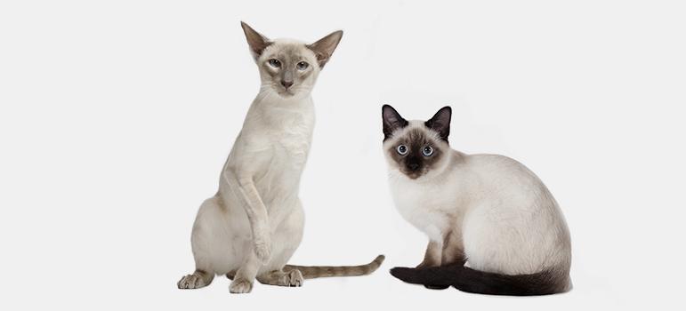 сиамская кошка видео