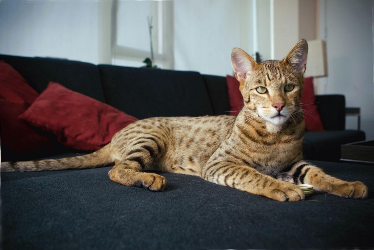 домашняя кошка саванна где купить