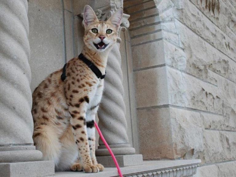 кошка саванна фото