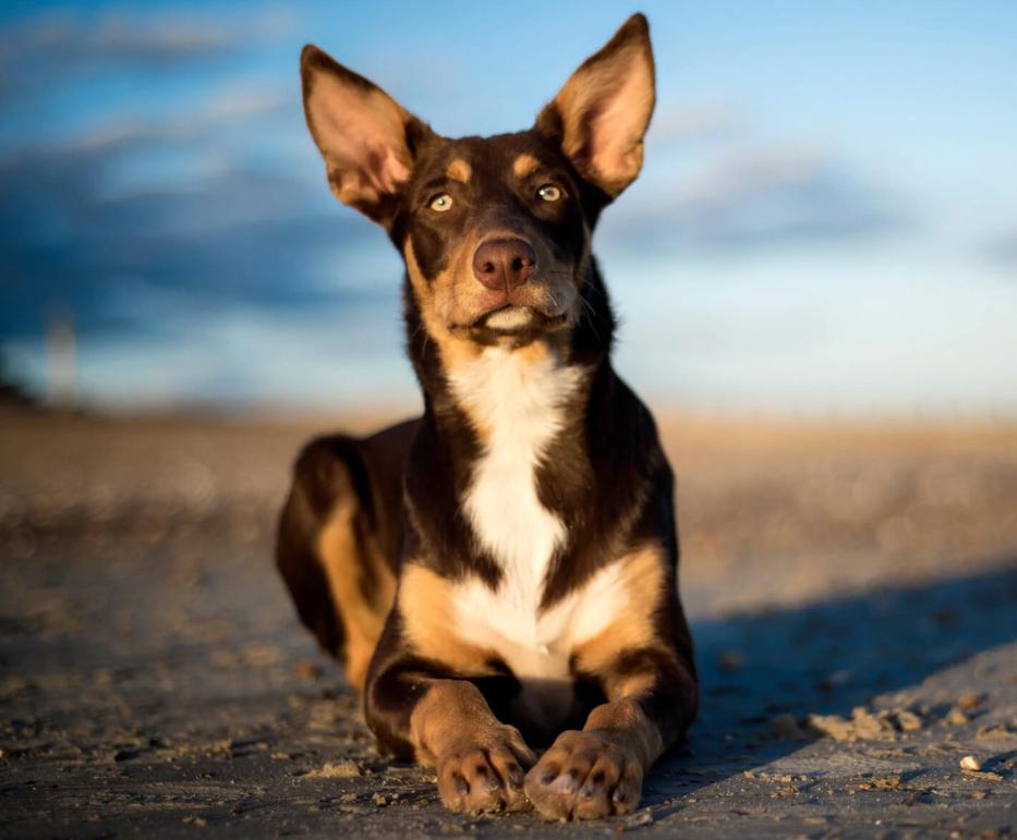 Австралийский келпи порода собак