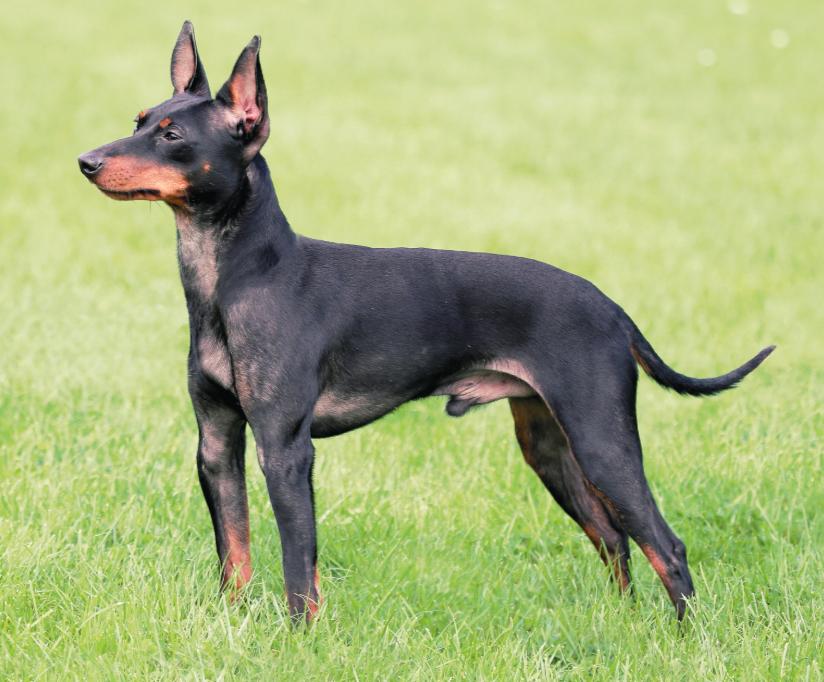 Английский той-терьер описание породы собак