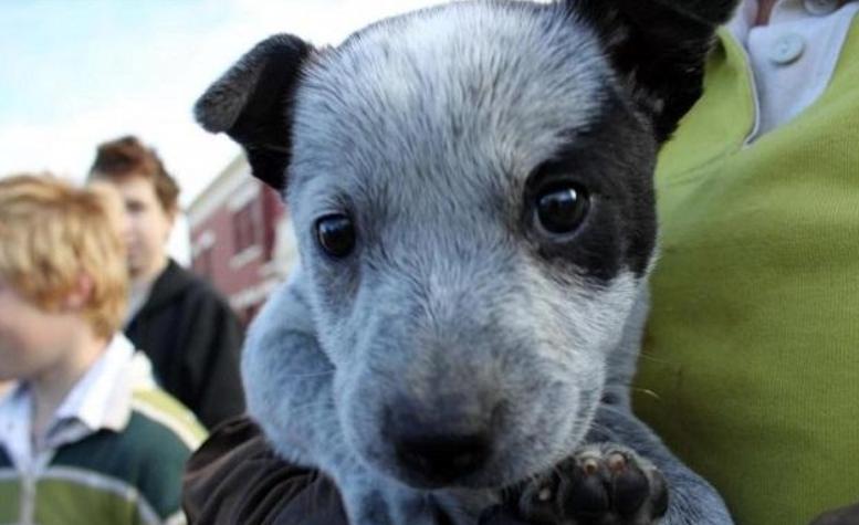 Австралийская короткохвостая пастушья собака описание породы