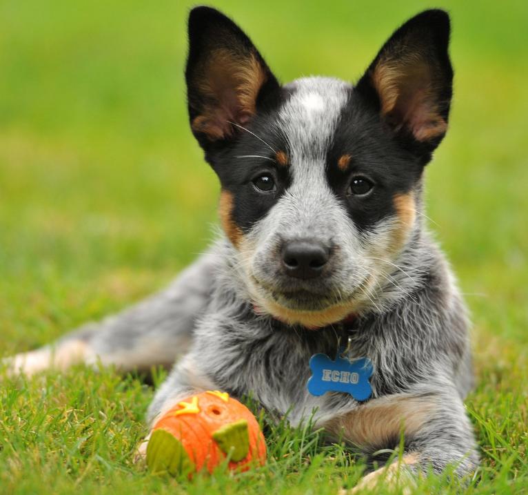 Австралийская короткохвостая пастушья собака где купить
