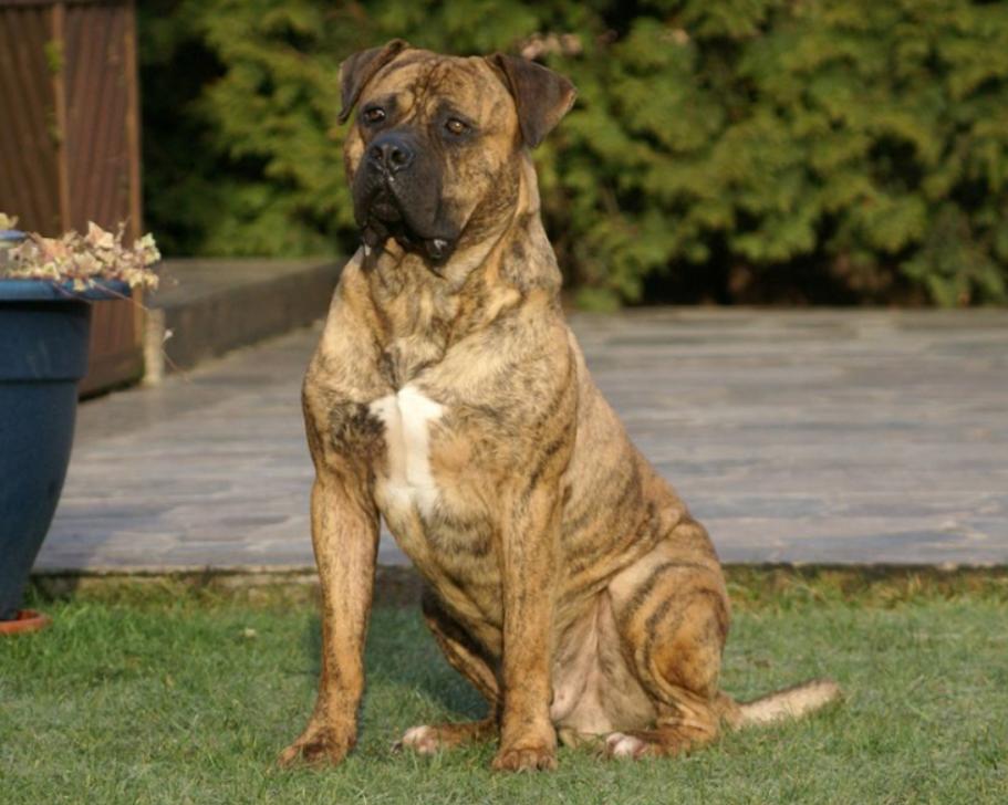 алано порода собак