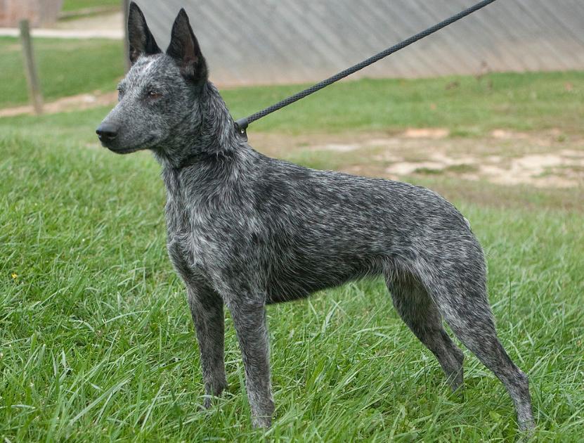 Австралийская короткохвостая пастушья порода собак