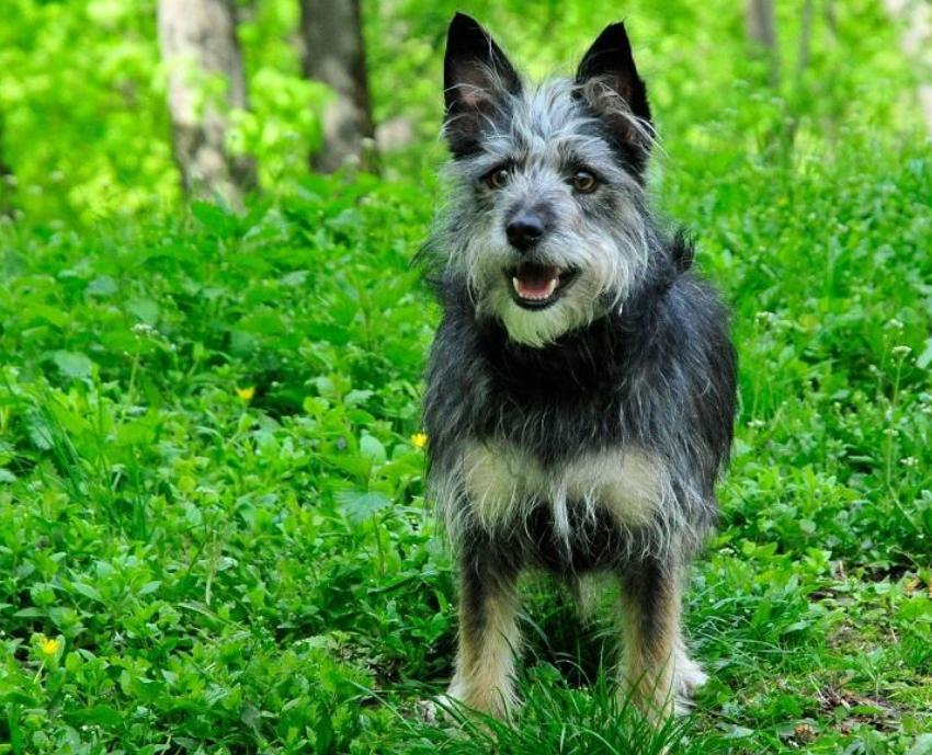 Австралийский терьер порода собак