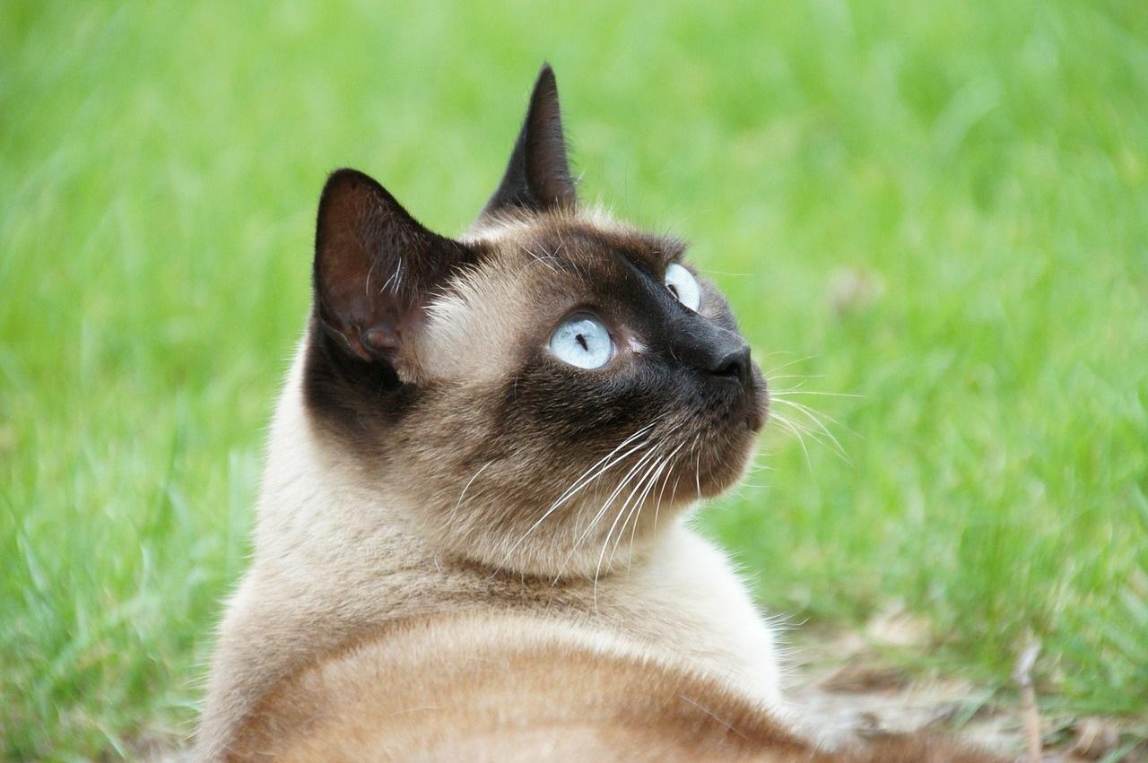 сиамская кошка стоимость москва