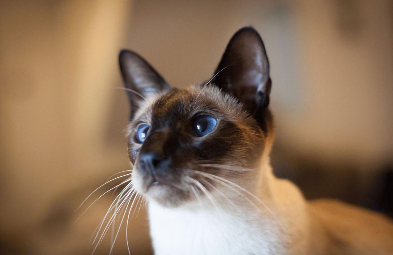 сиамская кошка описание