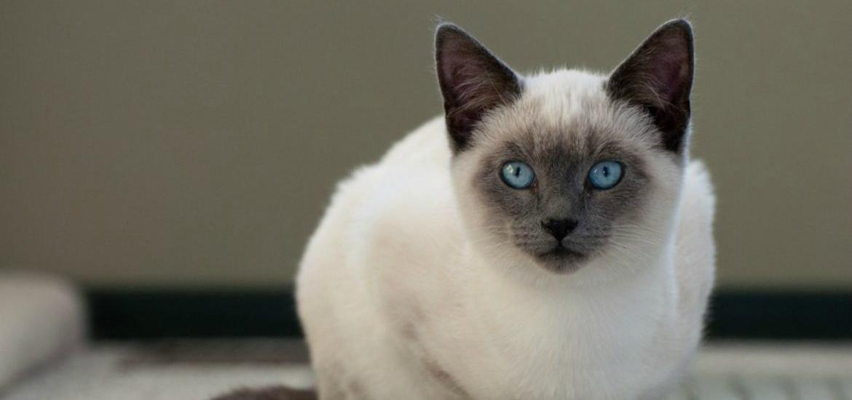 сиамская кошка характер