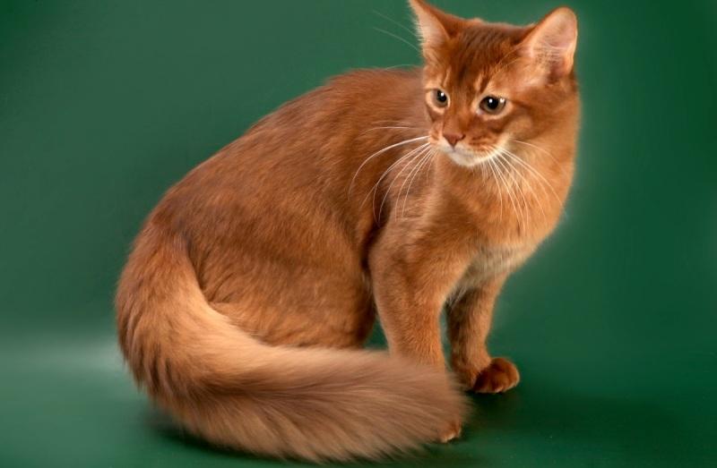сомалийская кошка видео