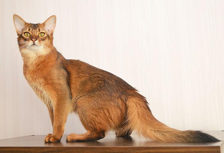 сомалийская кошка характер