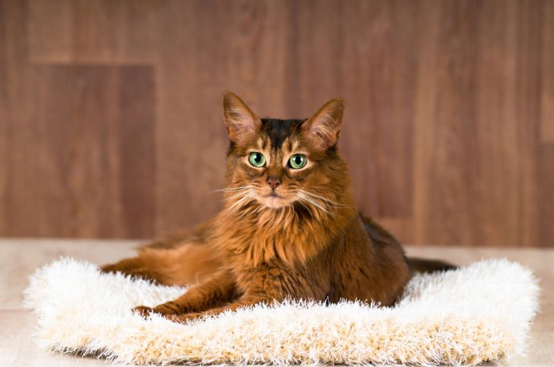 сомалийская кошка котенок