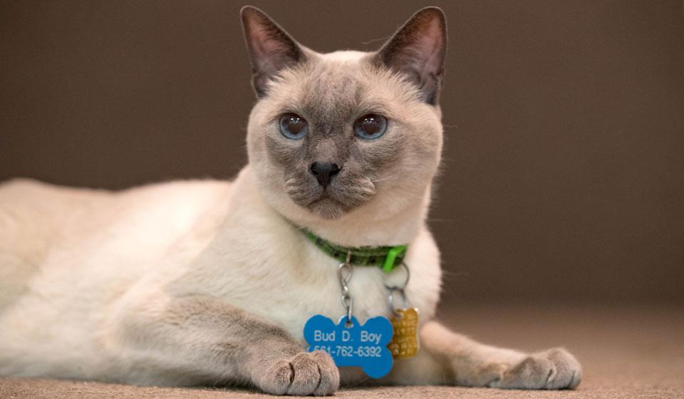 сиамская кошка порода