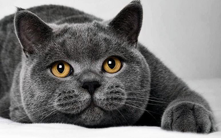 британская короткошерстная кошка описание