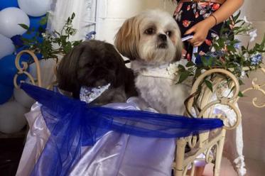 Англичанка потратила 2000 фунтов на свадьбу двух ши-тцу
