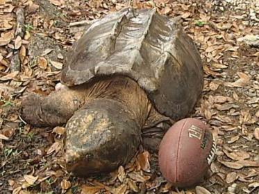 Огромная крокодиловая черепаха
